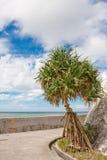 Baum Okinawa-Adan Stockbild