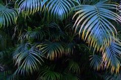 Baum-Palmblattmuster für Naturhintergrund Lizenzfreie Stockfotografie
