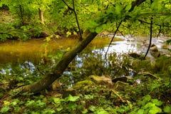 Baum am Rand des Flusses Bela Stockbilder