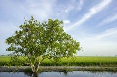 Baum am Reisfeld Stockbild