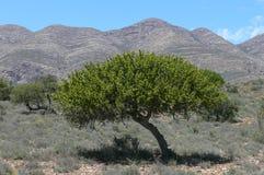 Baum in Südafrika Lizenzfreie Stockbilder