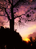 Baum-Schattenbild bei Sonnenuntergang Stockfoto