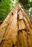 Baum spaltete sich hinunter die Mitte nach Blitzschlag auf Stockbilder