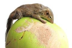 Baum-Spitzmaus Stockfotografie