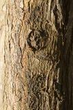 Baum-Stamm-Beschaffenheit mit hölzernem Knoten lizenzfreies stockbild
