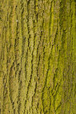 Baum-Stamm mit Moos oder Flechte - Betrüger Musgos O Li Tronco de Arbol Lizenzfreie Stockfotografie