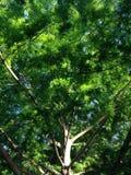 Baum-Stamm Taxodium Distichum (kahles çypress) und Niederlassungs-Lit mit hellem Sonnenlicht während des Sonnenuntergangs Stockfotografie