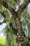 Baum-Stamm und Niederlassungen Lizenzfreies Stockfoto