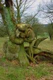 Baum-Studie, Chatsworth-Park, Derbyshire, England Stockbilder