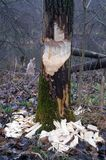 Baum und Biber im Wald Stockfotografie