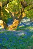 Baum und Bluebells Stockfotos
