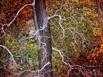 Baum und erster Schnee Lizenzfreie Stockbilder