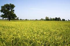 Baum und Reis Stockfotos