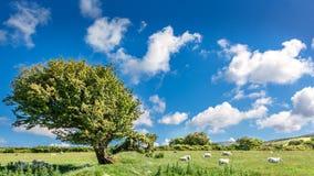 Baum und Schafe in Wales Stockfotos