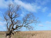 Baum und Schilfe, Litauen Stockfotografie