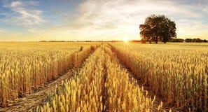 Baum-und Weizen-Feld Lizenzfreies Stockbild