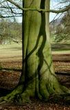 Baum und Wurzeln, Chatsworth-Park, Höchstbezirk, Derbyshire, Stockbild