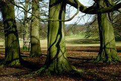 Baum und Wurzeln, Chatsworth-Park, Höchstbezirk, Derbyshire, Stockfotografie