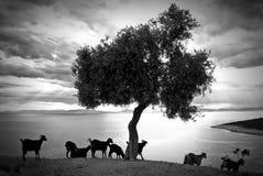 Baum und Ziegen in Thassos Griechenland Stockfotos