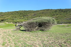 Baum verbog durch die Nordwinde in der Küstenlinie von Skiathos-Insel in Griechenland Lizenzfreies Stockbild