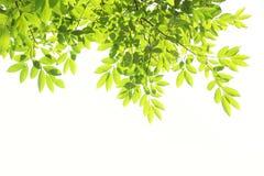 Baum verlässt Hintergrund getrenntes Weiß Lizenzfreie Stockfotografie