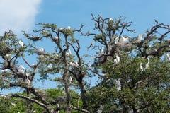 Baum voll von weißen Reihern und von Störchen lizenzfreie stockfotos