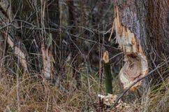 Baum von Bibern Stockbild