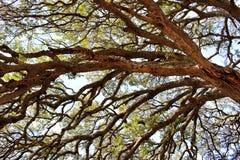 Baum von Sunol stockfotografie