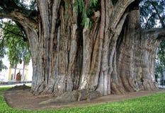 Baum von Tule Lizenzfreies Stockfoto