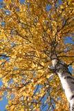 Baum während des Falles Stockbild