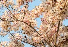 Baum wünschend, zacken Sie Showe, Cassia Bakeriana Craib aus Lizenzfreie Stockbilder