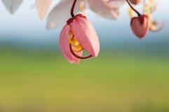 Baum wünschend, zacken Sie Showe, Cassia Bakeriana Craib aus Stockfotos