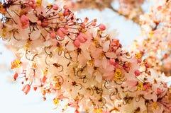 Baum wünschend, zacken Sie Showe, Cassia Bakeriana Craib aus Stockbild