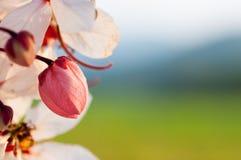 Baum wünschend, zacken Sie Showe, Cassia Bakeriana Craib aus Lizenzfreies Stockbild