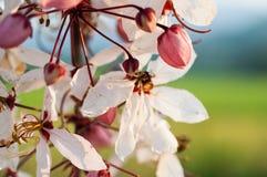 Baum wünschend, zacken Sie Showe, Cassia Bakeriana Craib aus Stockbilder