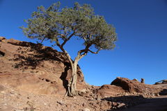 Baum in Wüste PETRA, Jordanien Lizenzfreies Stockbild