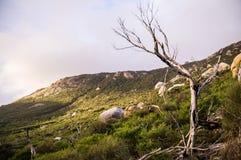 Baum an Wilson-` s Vorgebirge stockbilder