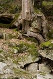Baum-Wurzel Lizenzfreie Stockfotografie