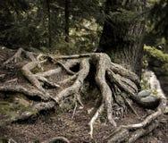Baum-Wurzeln Lizenzfreie Stockfotografie
