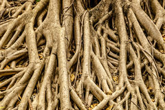 Baum-Wurzeln für Hintergrund Lizenzfreie Stockfotografie