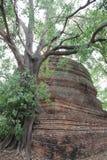 Baum-Wurzeln und Baumrinden mit großem altem Stupa lizenzfreie stockfotos
