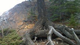 Baum wurzelt auf Abhang, Nationalpark Banffs, Kanada stockfotografie
