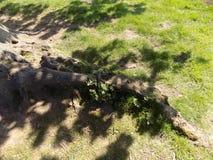 Baum wurzelt, Crookham, Northumberland, Großbritannien Lizenzfreie Stockbilder