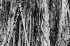 Baum wurzelt das Wachsen auf waldigem Stamm Lizenzfreies Stockbild