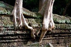 Baum wurzelt nach Ruinewänden Tempel am Ta-Prohm Lizenzfreie Stockfotografie