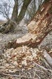 Baum zerfressen durch Biber stockfotos