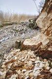 Baum zerfressen durch Biber lizenzfreies stockfoto