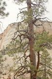 Baum Zion im Nationalpark lizenzfreie stockbilder