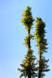 Baum zwei Stockbilder