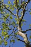 Baum-Zweige Stockfoto